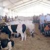 Origgio, fiera del bestiame: oggi in scena i bovini
