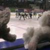 "Teddy bear toss: ""lancio di peluche"" al palasport Ronchi"