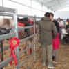 La Fiera del bestiame non si ferma per gli animalisti: pronto il programma, oggi debutto