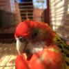 Ritrovato alla Colombara il pappagallo fuggitivo