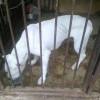 La polizia locale salva un Dogo Argentino dall'abbandono
