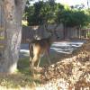 Avvistato ancora il cervo e questa volta c'è il video