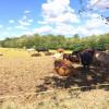 Frontale auto-vitello, lo strano caso in Saronno-Monza