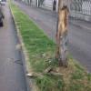 """Appello dalla Cassina: """"Abbattete questa pianta prima che cada sulla strada"""""""