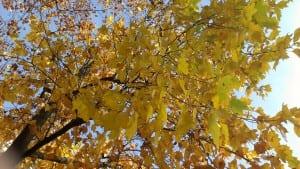 24112013 autunno foglie saronno (14)