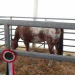 24042016 fiera di origgio giornata equini bestiame (10)