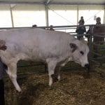 fiera bestiame 2017 primo classificato